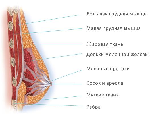 anatomiya